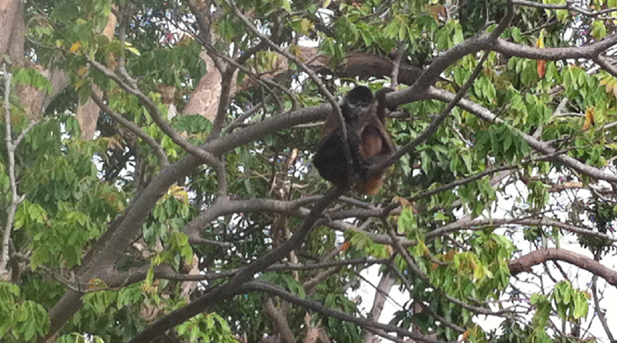 costa rica monkey